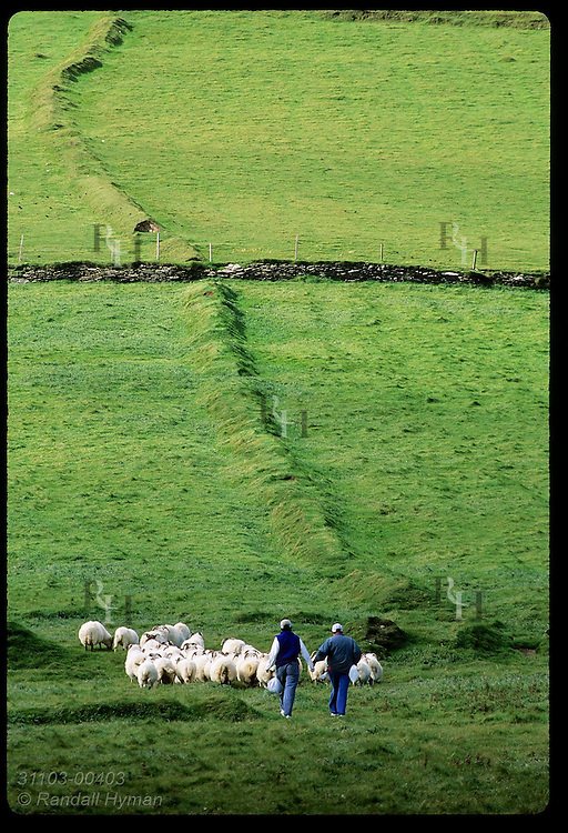 Two women walk arm-in-arm in lush pasture behind flock of sheep at Dunmore Head at tip of Dingle Peninsula; Ireland.
