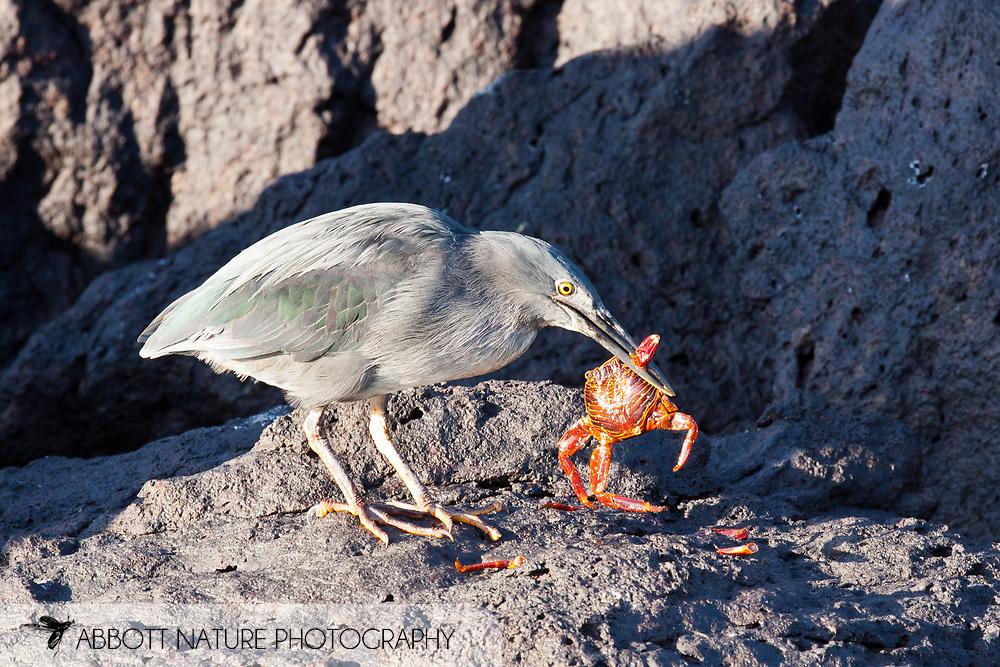 Lava (Galapagos) Heron (Butorides sundevalli) eating Sally Lightfoot, Red Rock Crab, Abuete Negro (Grapsus grapsus)<br /> ECUADOR: Galapagos Islands<br /> Santa Fe Island<br /> 19-Aug-2010<br /> J.C. Abbott &amp; K.K. Bauer