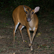 Female Red (or common) Muntjac Deer, Muntiacus muntjac, also known as a barking deer in Kaeng krachan National Park, Thailand.