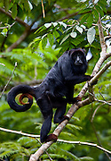 Parauapebas_PA, Brasil..Primata conhecido  como bugio, guariba ou capelao (Alouatta caraya) em arvore da Floresta Nacional de Carajas, Para...Primate known as bugio, guariba ou capelao (Alouatta caraya) in tree of National Forest of Carajas, Para...Foto: JOAO MARCOS ROSA / NITRO