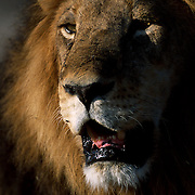 Lion (Panthera leo)  <br /> <br /> Mombo - Okavango Delta &ndash; Botswana <br /> <br /> The lion is the tallest (at the shoulder) of the felids, and is also the second-heaviest of the big cats after the tiger. With powerful legs, a strong jaw, and long canine teeth, the lion can bring down and kill large prey. The coloration of lions can vary from light buff to yellowish, reddish or dark brown. Lion cubs are born with brown rosettes (spots) on their body, similar to a leopard, but will fade as they reach adulthood. Lions are the only members of the cat family to display obvious sexual dimorphism&mdash;specifically, males and females look distinctly different. The lioness, lacks the thick mane, which is prominent in the males. The color of the male's mane can vary from blond to black, generally becoming darker as the lion grows older.