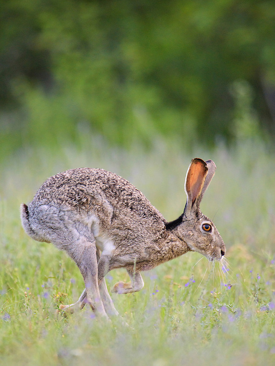 Black-tailed Jackrabbit, Lepus californicus<br />