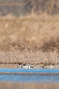Northern Pintail, Anas acuta, Shiawassee River, Saginaw County, Michigan
