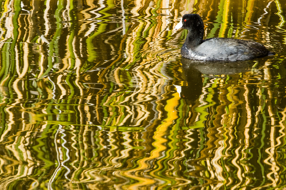 An American Coot is captured in brush reflections at Canyon Lake State Park near Phoenix, Arizona