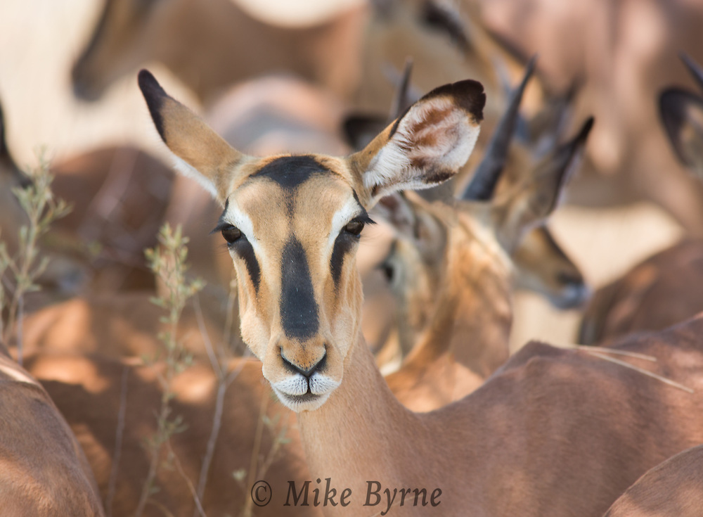 Blackfaced impala in Etoshai, Namibia.