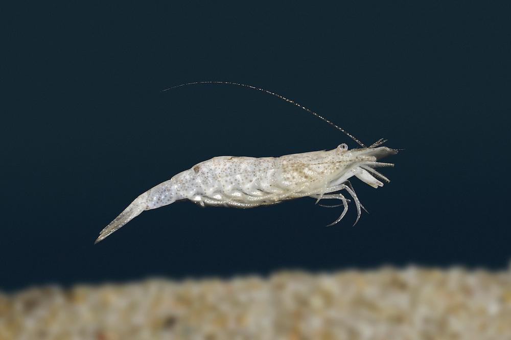 Common Shrimp - Crangon crangon