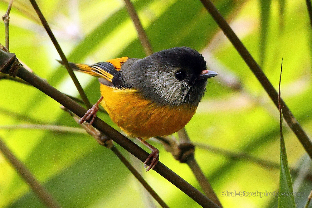 Golden-breasted Fulvetta, Lioparus chrysotis, Bhutan, by Markus Lilje