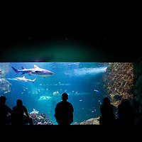 Australia, New South Wales, Sydney, Tourist silhouetted in front of Gray Nurse Sharks swimming in tank at Sydney Aquarium