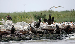 06 June 2010. Barataria Bay to Grand Isle, Jefferson/Lafourche Parish, Louisiana. <br /> Oil soaked brown pelicans on Belle Pass island near Grand Isle, home to thousands of nesting birds. The Louisiana brown pelican, a bird only recently removed from the endangered species list try in vain to clean oil from their feathers. The birds are attempting to rear their young with the threat of oil pouring into their habitat.  The ecological and economic impact of BP's oil spill is devastating to the region. Oil from the Deepwater Horizon catastrophe is evading booms laid out to stop it thanks in part to the dispersants which means the oil travels at every depth of the Gulf and washes ashore wherever the current carries it. The Louisiana wetlands produce over 30% of America's seafood and are the most fertile of their kind in the world.<br /> Photo; Charlie Varley/varleypix.com