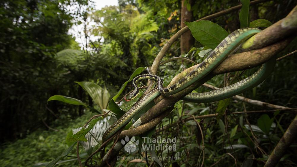 Sawtooth-necked Bronzeback (Dendrelaphis nigroserratus) in Kaeng Krachan national park, Thailand