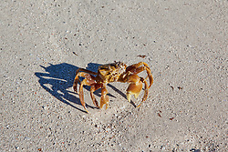 A yellow crab on Adele Island on the Kimberley coast.