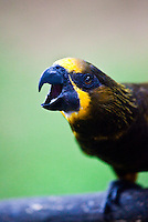 Brown Lory is also known as Duyvenbode's Lory.