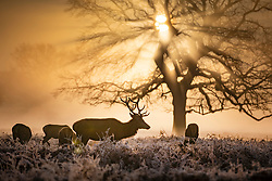 © Licensed to London News Pictures. 06/02/2020. London, UK. Deer feed on a misty morning in Bushy Park, south west London. After a period of clear and cold days, rain and wind are forecast for the next few days as the UK feels the effects of Storm Ciara. Photo credit: Peter Macdiarmid/LNP