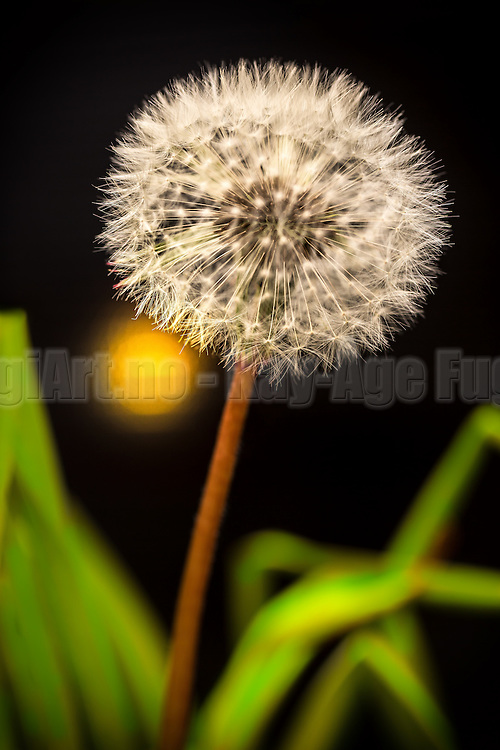 Dandelion in green lighted grass | Løvetann i grønt belyst gress