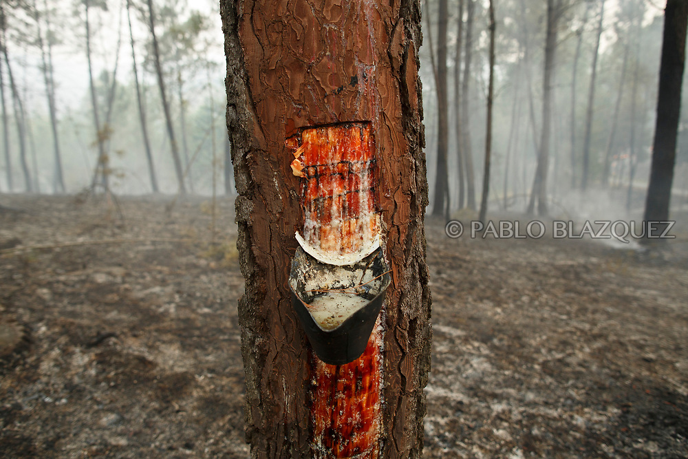 LEIRIA, PORTUGAL - JUNE 19:  A bucket with resin remains in a tree after a wildfire took dozens of lives on June 19, 2017 near Castanheira de Pera, in Leiria district, Portugal. On Saturday night, a forest fire became uncontrollable in the Leiria district, killing at least 62 people and leaving many injured. Some of the victims died inside their cars as they tried to flee the area.  (Photo by Pablo Blazquez Dominguez/Getty Images)