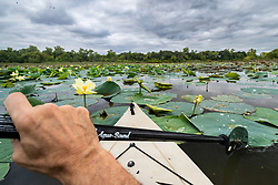 """Kayaking toward Greer Island through Flowering American lotus in Lake Worth, Fort Worth Nature Center, Fort Worth, Texas USA. Greer Island is the home of the famed Lake Worth Monster, or """"Goatman""""."""