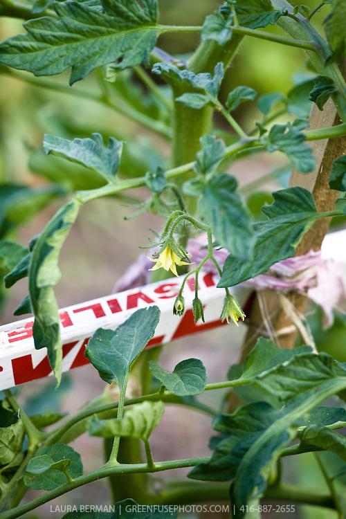 Tomato plant in flower tied to a hockey stick trellis.