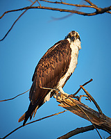 Osprey in a tree at Fort De Soto Park. Pinellas County, Florida Image taken with a Fuji X-T2 camera and 100-400 mm OIS lens (ISO 200, 400 mm, f/5.6, 1/480 sec).