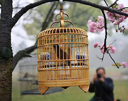 A man takes photos of birds hung from cherry trees at the Xishan Park in Guilin City, southwest China s Guangxi Zhuang Autonomous Region, March 16, 2013.  More than 70 cages of birds were displayed for the tourists to view at a cherry forest here Saturday, March 16, 2013.. Photo by Imago / i-Images...UK ONLY.Contact..