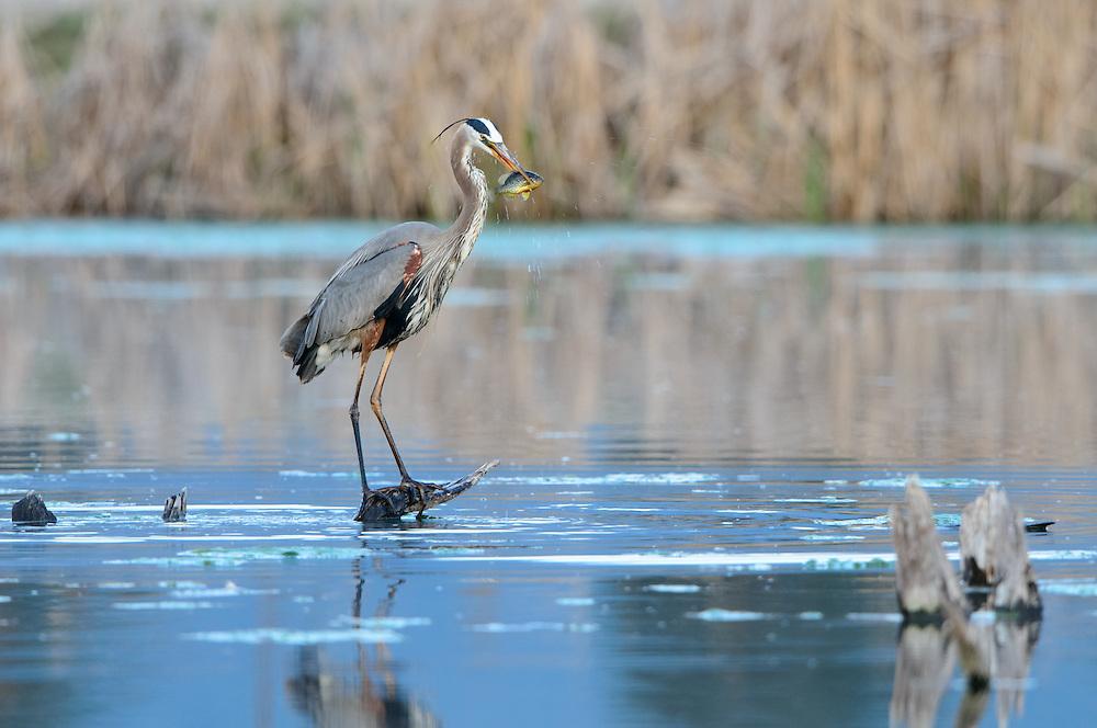 Great Blue Heron, Lee Metcalf Naitonal Wildlife Refuge, Montana