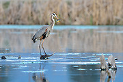 Great Blue Heron, Lee Metcalf Naitonal Wildlife Refuge, Montana