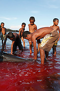 A man cuts in to the fin of a pilot whale caught by a harpooner turning the sea red. The Indonesian village of Lamalera has hunted whales, sharks and dolphins for the last 500 years. Their method is to leap from a small wooden boat with a long harpoon made of bamboo and spear the animal. Once brought to shore the animal is divided in to parts and distributed to the community, partly for consumption and partly for exchanging with other inland communities for corn and rice..On the 21 May 2009 at the World Oceans Conference, the Indonesian government officially declared 3.5 million hectares of critical marine habitat in the Savu Sea for conservation. Though government representatives have assured that traditional whaling -- which has been supporting the surrounding communities' means of living -- will not be banned in the area immediately outside the zone, concerns still remain. Lamalera is one of the last remaining Indonesian whaling communities and is categorized by the International Whaling Commission as aboriginal whaling..