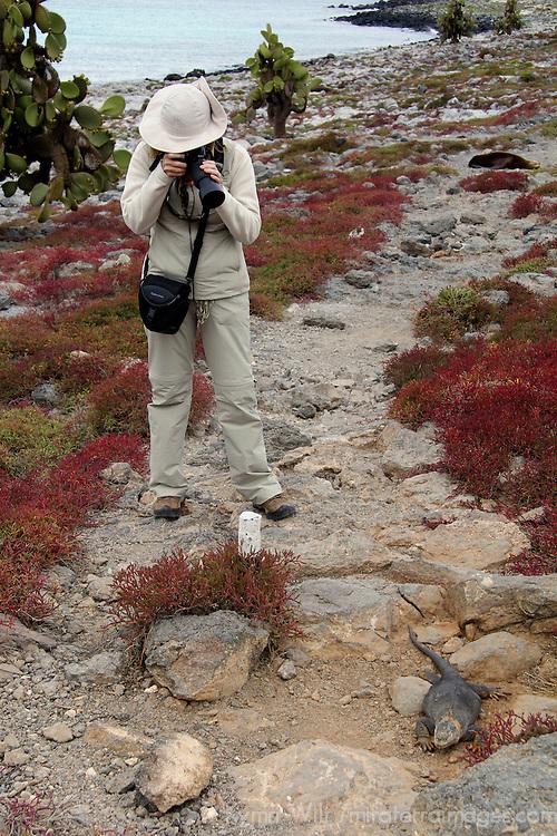 South America, Ecuador, Galapagos, South Plaza Island. Land Iguana being photographed.