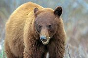 Cinnamon phase Black bear in habitat