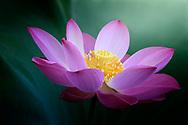 pink Lotus flower in beautiful light