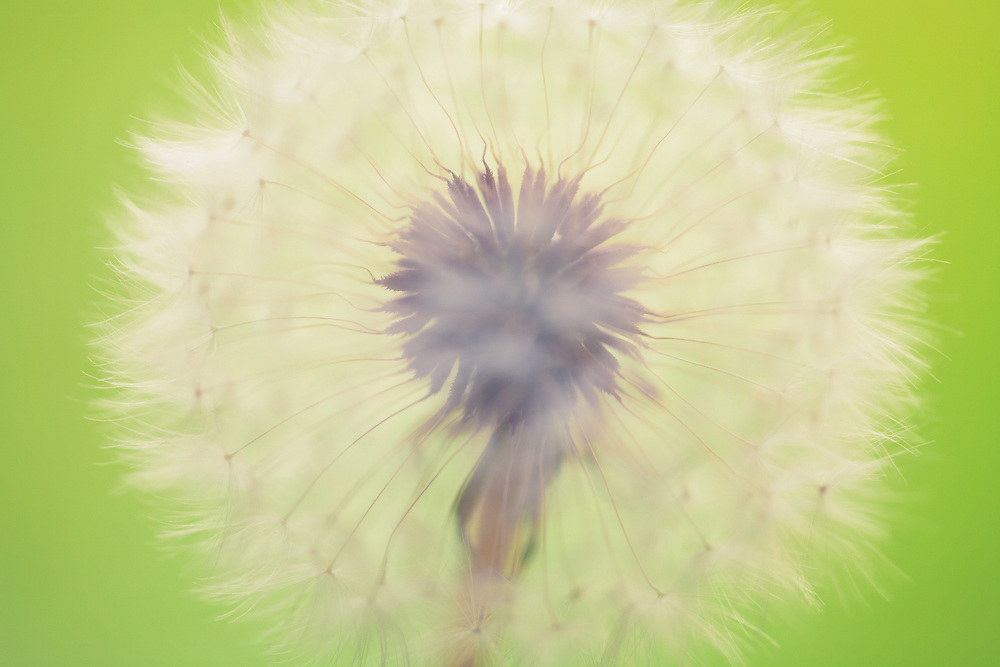 Soft look to a dandelion with soft lime green background.