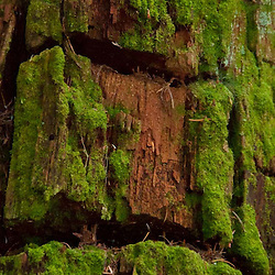 Bark Detail on Fragrance Lake Trail, Larrabee State Park, Bellingham, Washington, US
