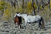 Wild Horses (Equus feras)