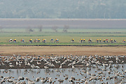 Israel, Hula Valley a large flock of Eurasian Cranes in the background a group of cyclists