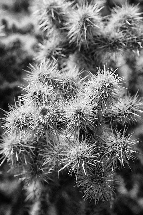 Joshua Tree - Cholla - Infrared Black & White