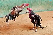 10 APRIL 2010 - PLA PAK, NAKHON PHANOM, THAILAND: Fighting cocks battle for supremacy at a pit in rural northeastern Thailand. Cockfighting is enormously popular in rural Thailand. A big fight can bring the ring operator as much as 200,000 Thai Baht (about $6,000 US), a large sum of money in rural Thailand. Fighting cocks live for about 10 years and only fight for 2nd and 3rd years of their lives. Most have only four fights per year. Fighting cocks in Thailand do not wear the spurs or razor blades that they do in some countries and most times the winner is based on which rooster stops fighting or tires first rather than which is the most severely injured. Although gambling is illegal in Thailand, many times fight promoters are able to get an exemption to the gambling laws and a lot of money is wagered on the fights. Many small rural communities have at least one cockfighting arena.   PHOTO BY JACK KURTZ