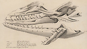 Mososaurus. Huge skull found in a quarry at Fort St Peter near Maastricht, Netherlands, in 1780.  From the size of the jaw, which measured 1.142 metres, it was calculated that the whole animal must have been 7.315 metres.   From 'The Animal Kingdom' by George Cuvier (London, 1830).   Engraving.