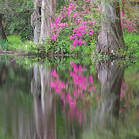 Pink azaleas and cypress trees reflect in pond, Charleston, SC