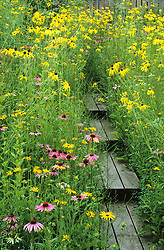 Prairie style garden with rudbeckias, echinacea, coreopsis and silphium. Wooden boardwalk.