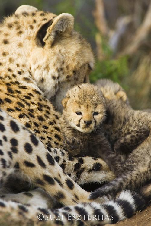 Cheetah<br /> Acinonyx jubatus<br /> 13 day old cubs with mother in nest<br /> Maasai Mara Reserve, Kenya