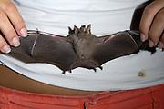 Lamanai - Wednesday, Dec 14 2005: Bat researcher Jen Blasko shows the wing span of a bat caught in a mist net earlier that evening. (Photo by Peter Horrell / http://www.peterhorrell.com)
