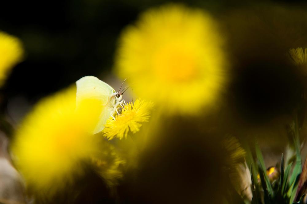 18.04.2009.Brimstone butterfly (Gonepteryx rhamni) on Coltsfoot (Tussilago farfara)..Bergslagen, Sweden.