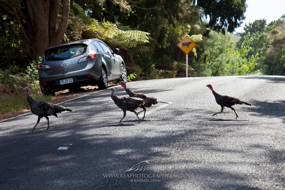 Wild turkey, New Zealand