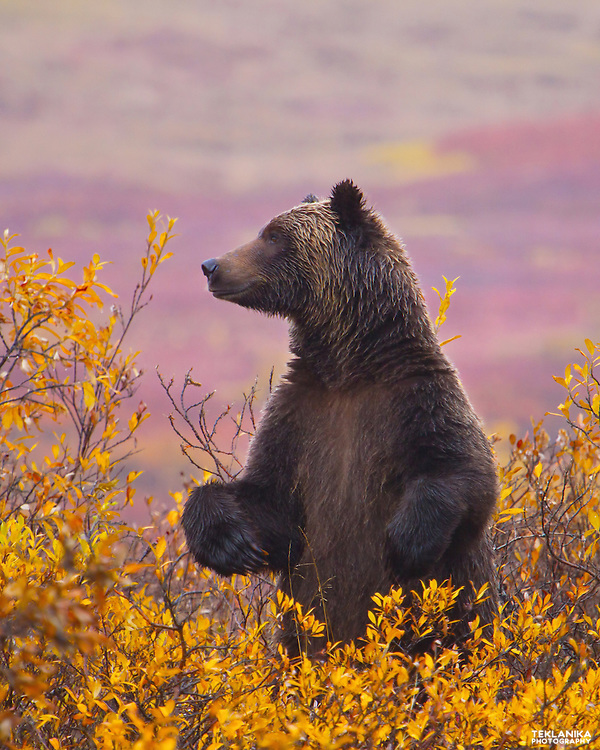 A large grizzly bear stands among fall foliage in Alaska's Denali National Park.