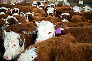 PRICE CHAMBERS / NEWS&amp;GUIDE<br /> Calves wait to be weighed and inspected on weening day at the Lockhart Cattle Company.