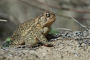 Southern toad (Anaxyrus terrestris)<br /> Little St Simon's Island, Barrier Islands, Georgia<br /> USA