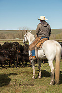 Cowboys, dragging calves to the fire, branding, Lazy SR Ranch, Wilsall, Montana, Rick Swandal.