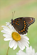 Red-spotted Purple butterfly (Limenitis arthemis)