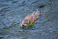 A Muskrat swimming in a lake with his dinner.<br />