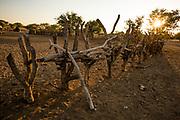 The wooden fence around a Himba village , Kaokoland, Kaokoveld, Namibia