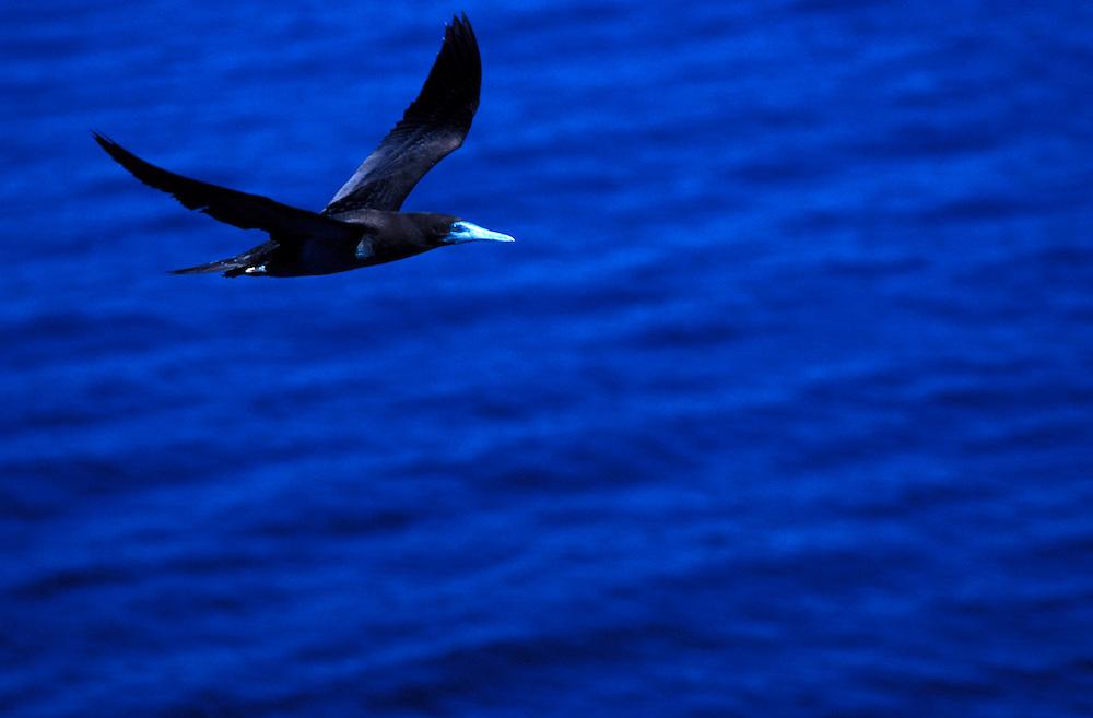 Booby bird in flight - Prince Regent River, The Kimberley, Western Australia